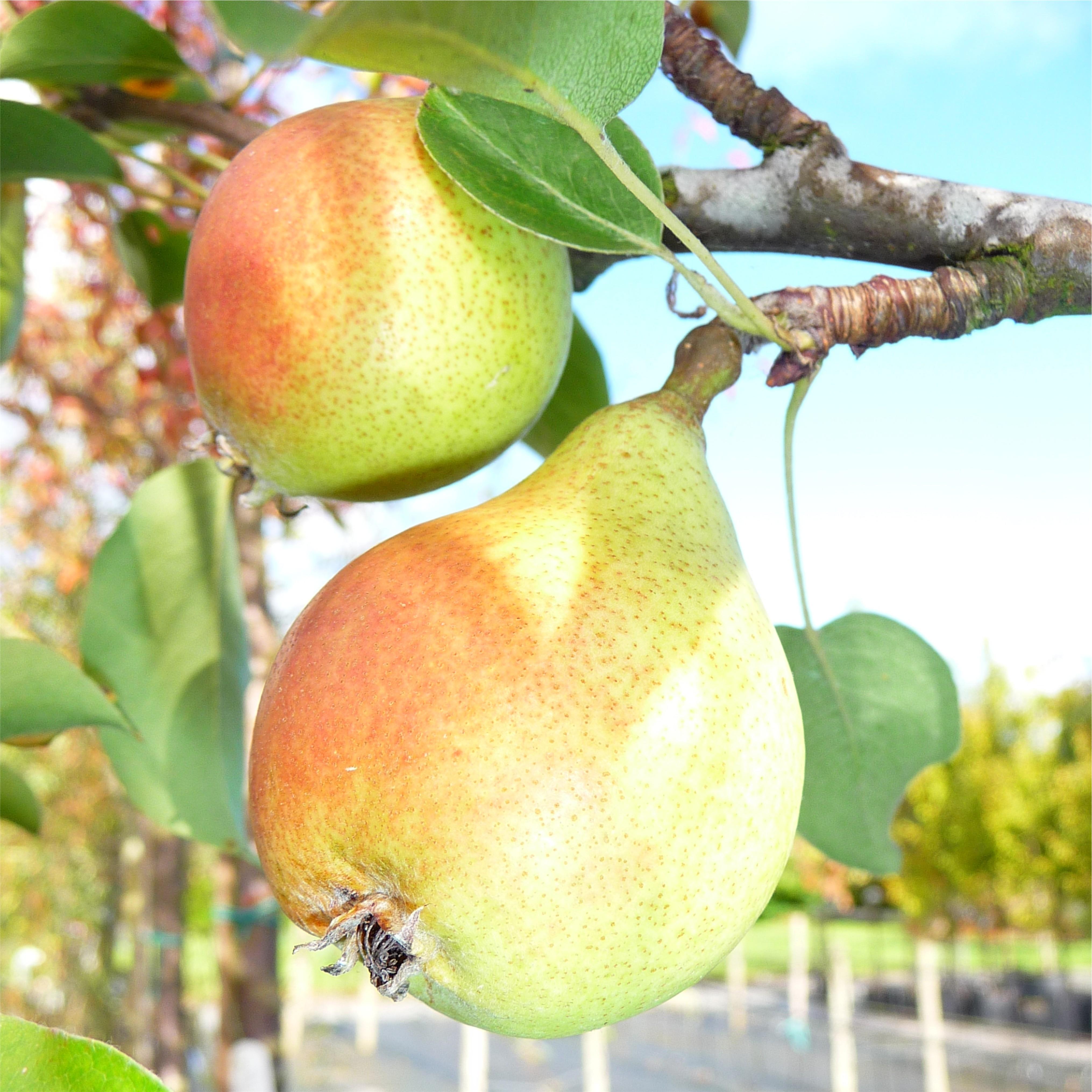 Asian pear care thorns