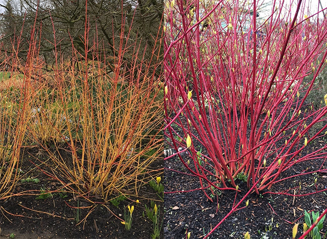 Colourful stems of Cornus sanguinea 'Midwinter Fire' and Cornus alba 'Sibirica' shrubs