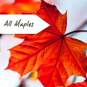 All Maple Trees