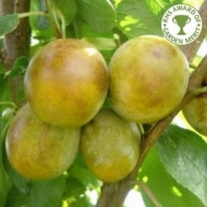 Dennistons Superb - Plum or Gage Tree