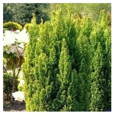 Chamaecyparis Lawsoniana Elwood's Gold Conifer