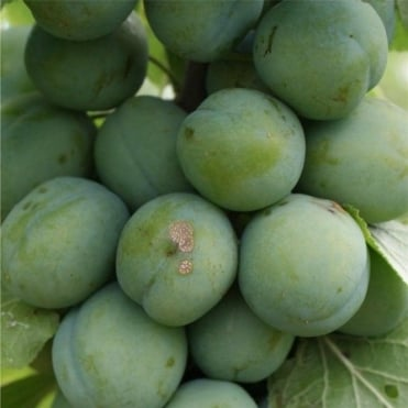 Old Greengage - Plum or Gage Tree