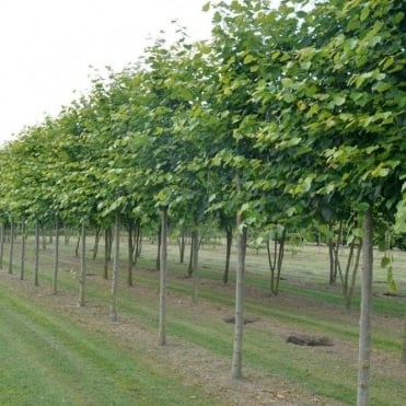 Pleached Lime Trees