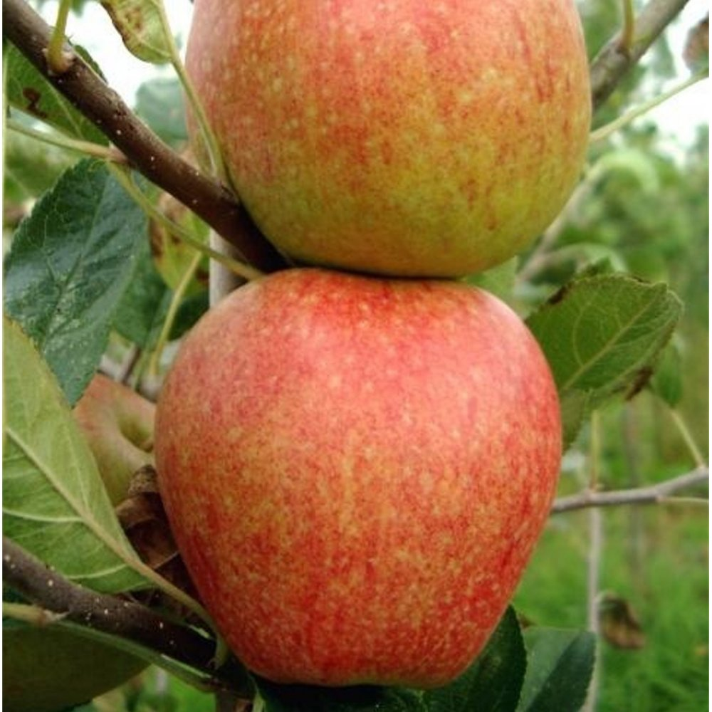 how to buy fruit trees