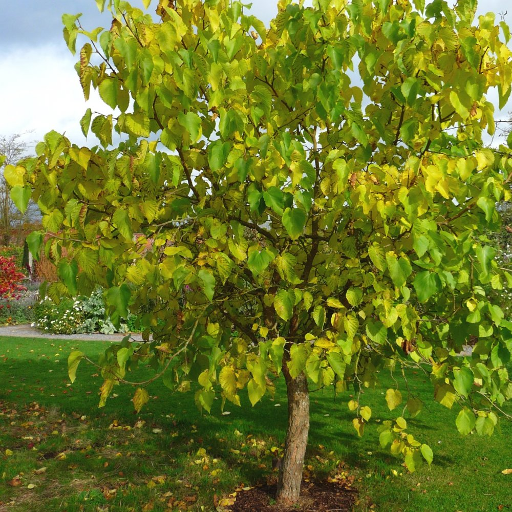 Mulberry tree morus nigra fruit trees for sale for Fruit trees