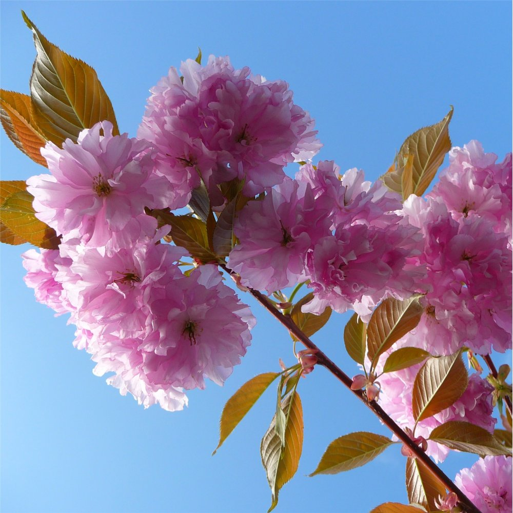 Prunus kanzan buy kanzan japanese cherry blossom trees Japanese cherry blossom tree