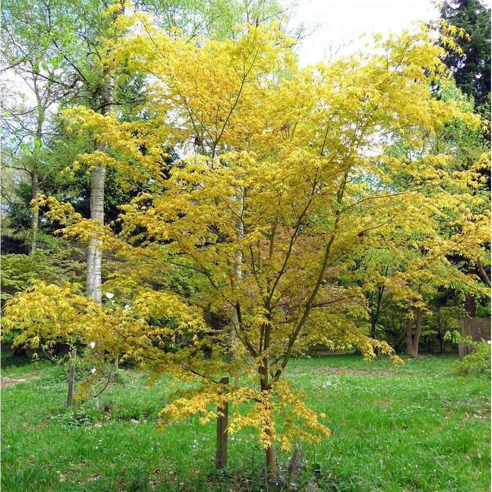 Acer palmatum katsura japanese maple tree buy dwarf for Small trees