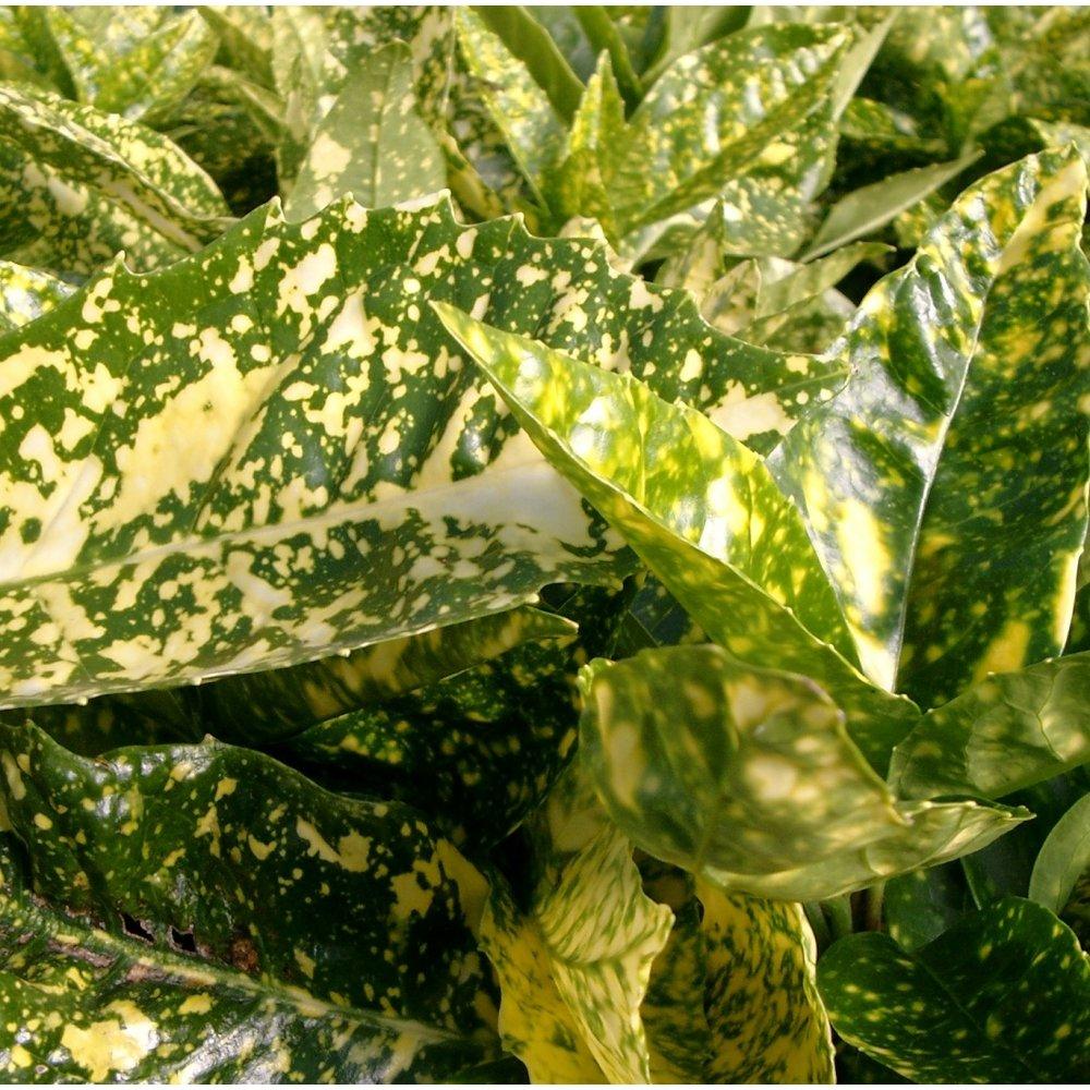 Hedging Plants For Sale Buy Hedging Hedge Plants