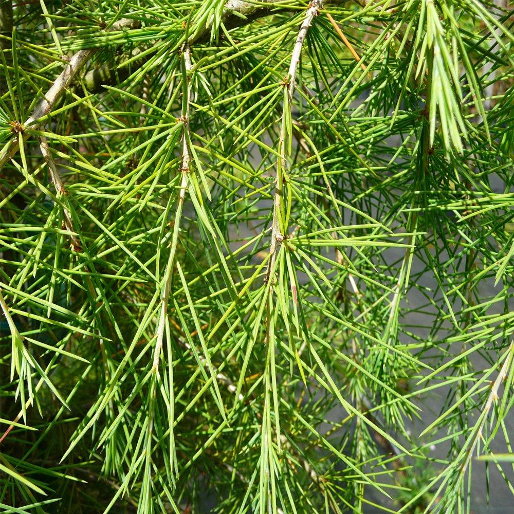 Small Ornamental Evergreen Trees: Cedrus Deodara