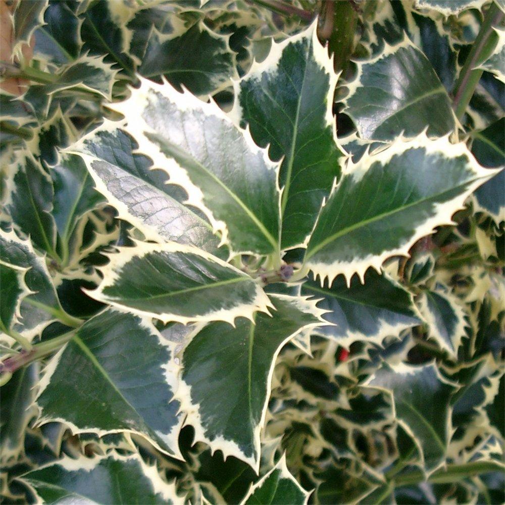 Small Ornamental Evergreen Trees: Ilex Aquifolium Argentea Marginata