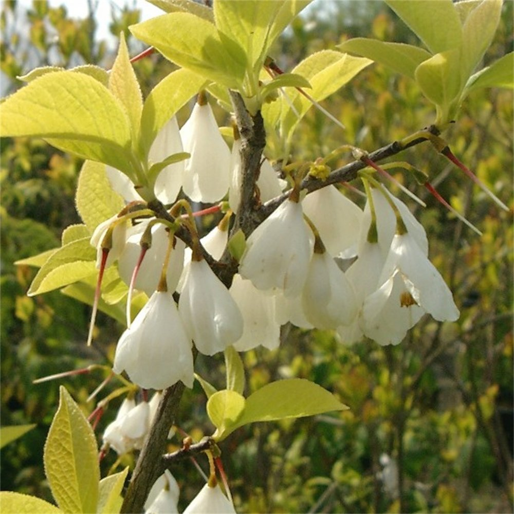 Small Ornamental Trees Nc: Buy Feature Trees