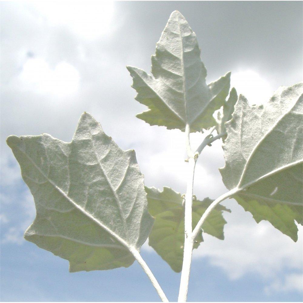 White Poplar Tree Leaf Populus Alba | Buy Whi...