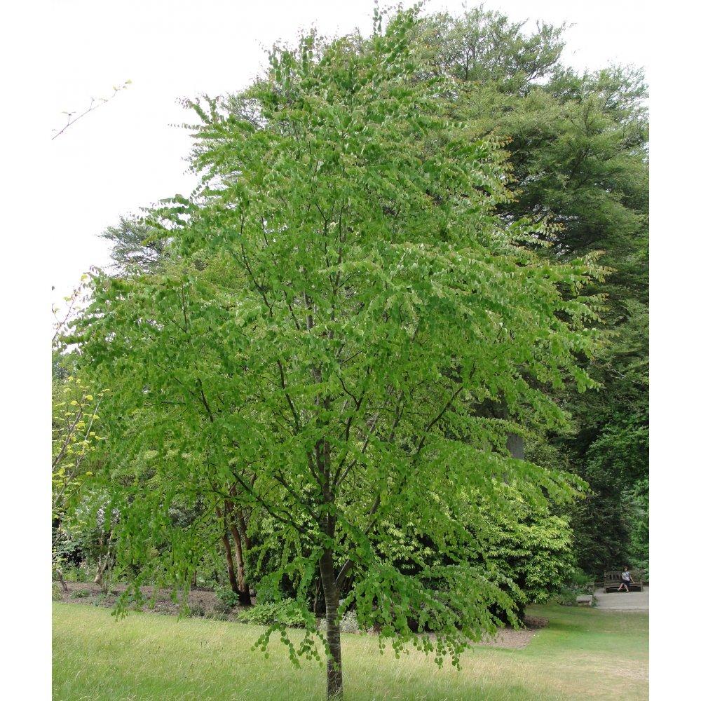 cercidiphyllum japonicum buy katsura trees caramel tree