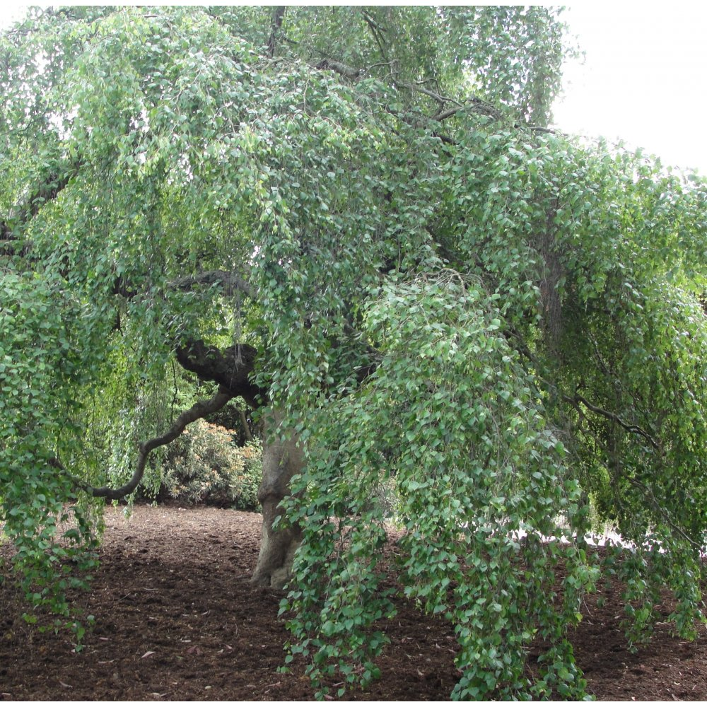 Related to types of ornamental evergreen trees garden guides