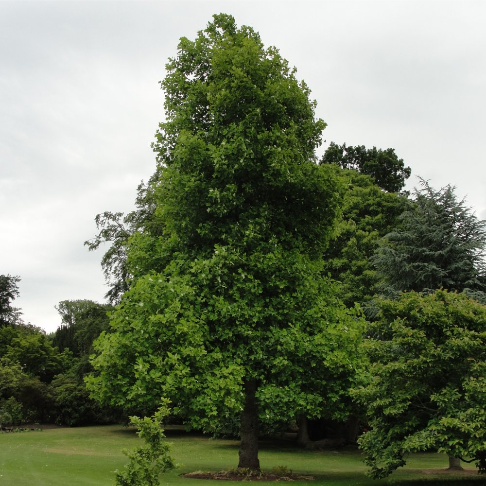 Liriodendron tulipifera buy american yellow tulip trees for Purchase trees