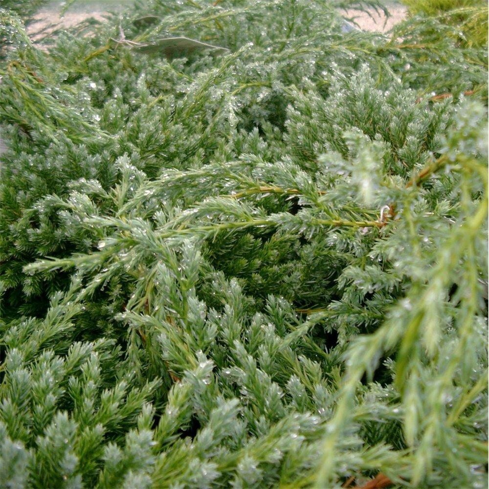 Small Ornamental Evergreen Trees: Juniperus Squamata Blue Carpet