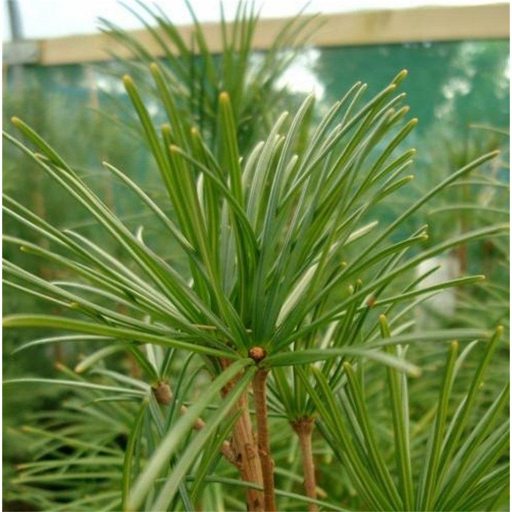 Small Ornamental Evergreen Trees: Sciadopitys Verticillata