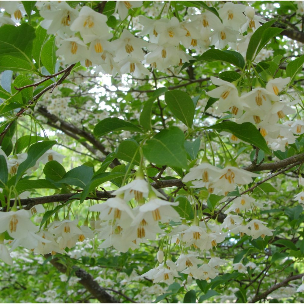 Styrax japonica ornamental trees from ornamental trees for Tiny ornamental trees
