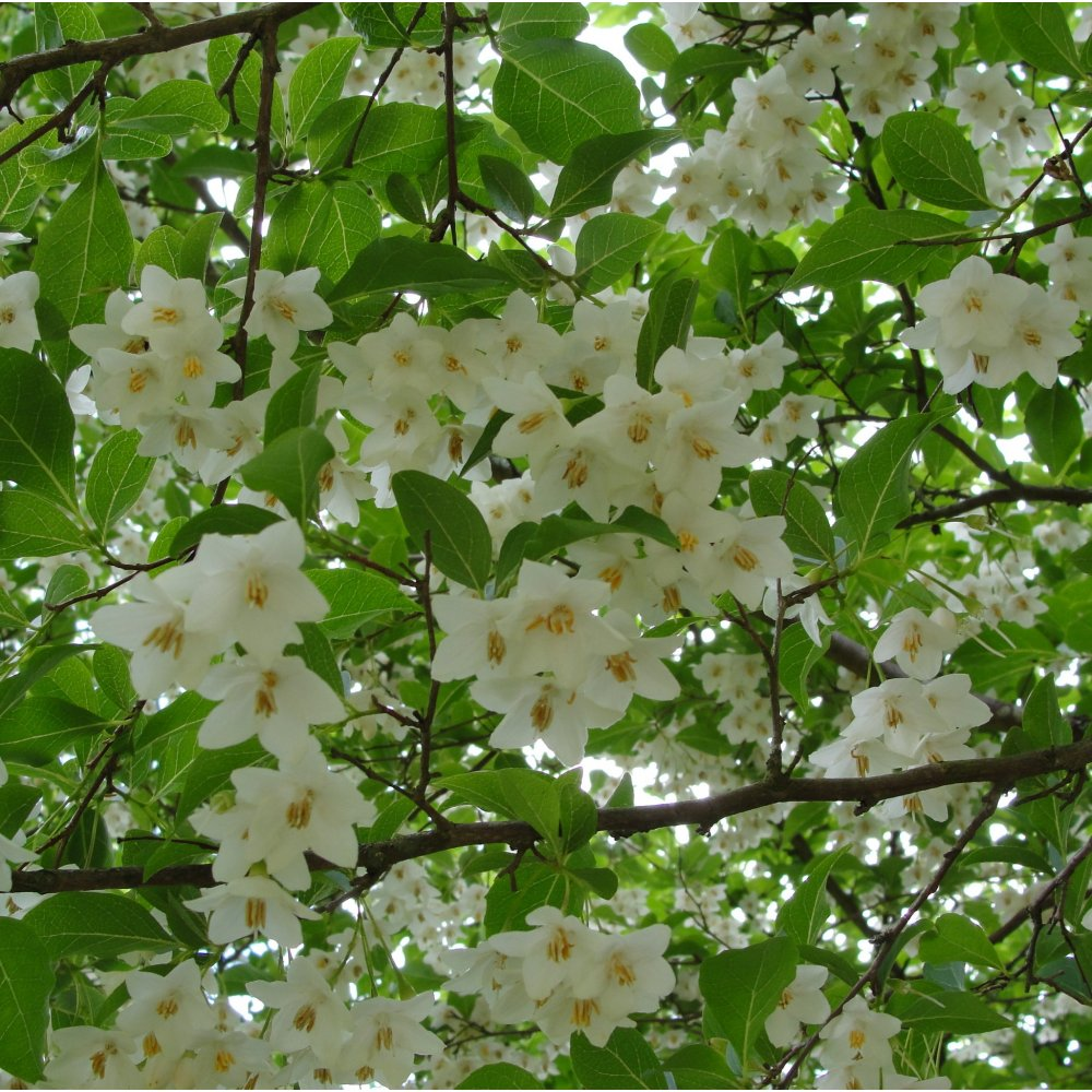 Styrax japonica ornamental trees from ornamental trees Small flowering trees