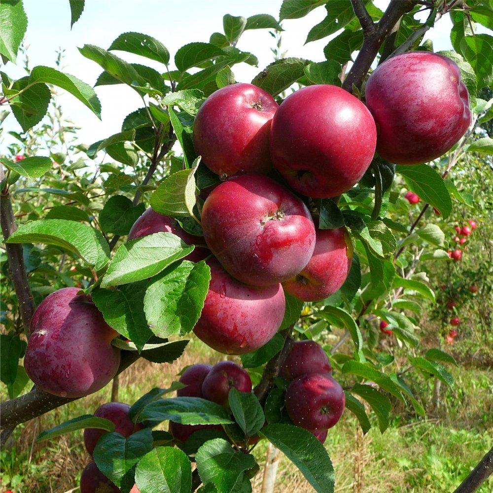 Apples, Fruit trees and Apple tree on Pinterest