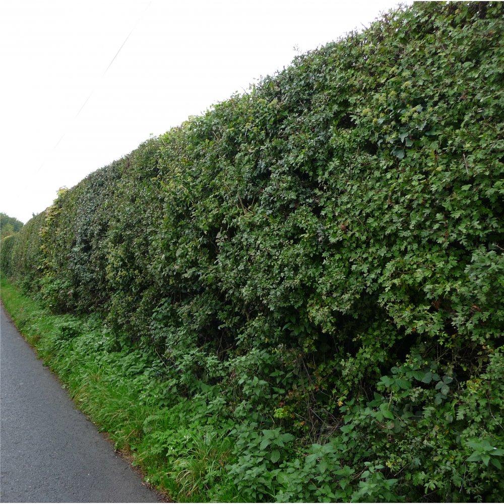 hedging plants for sale buy hedging hedge plants. Black Bedroom Furniture Sets. Home Design Ideas