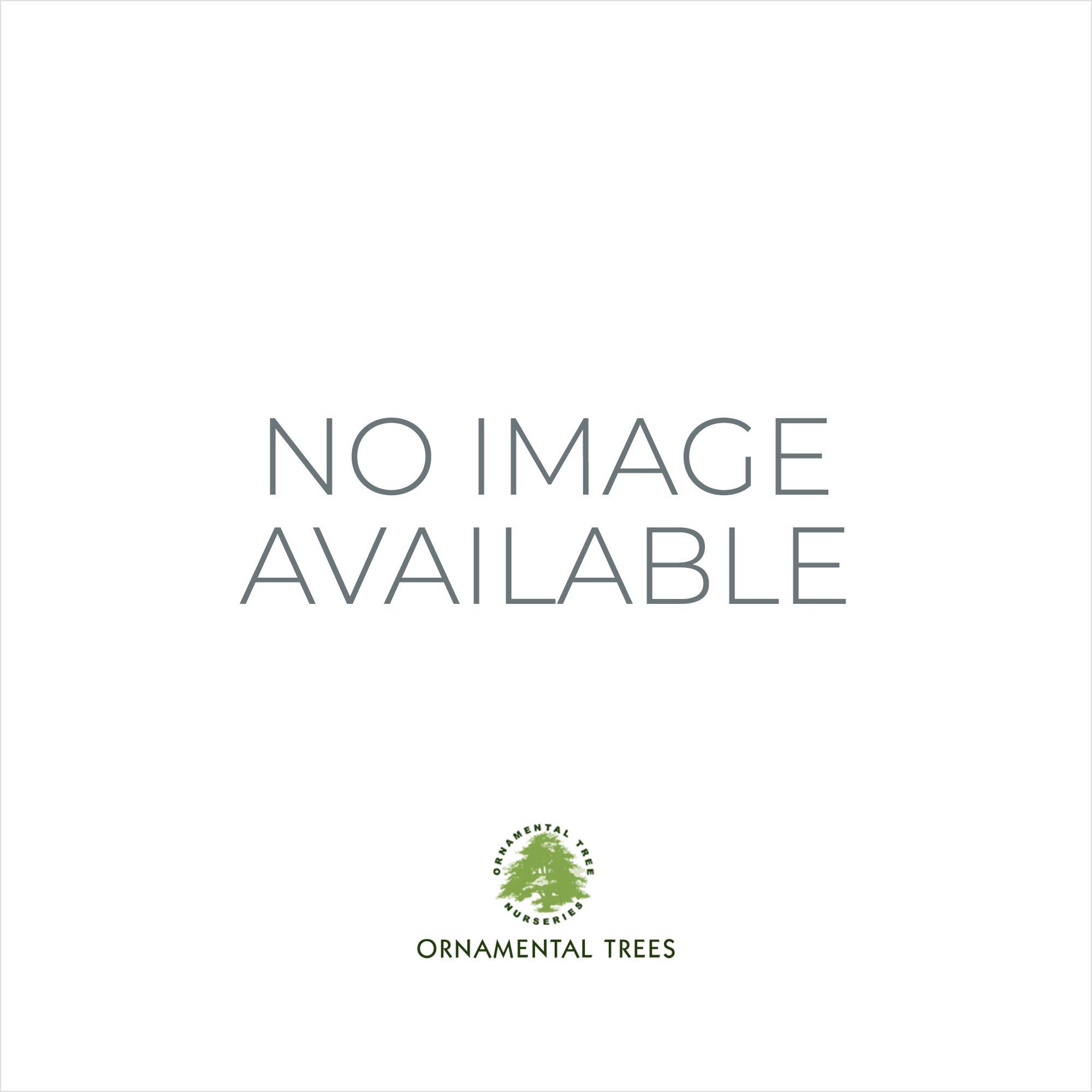 prunus lusitanica portuguese laurel ornamental tree. Black Bedroom Furniture Sets. Home Design Ideas