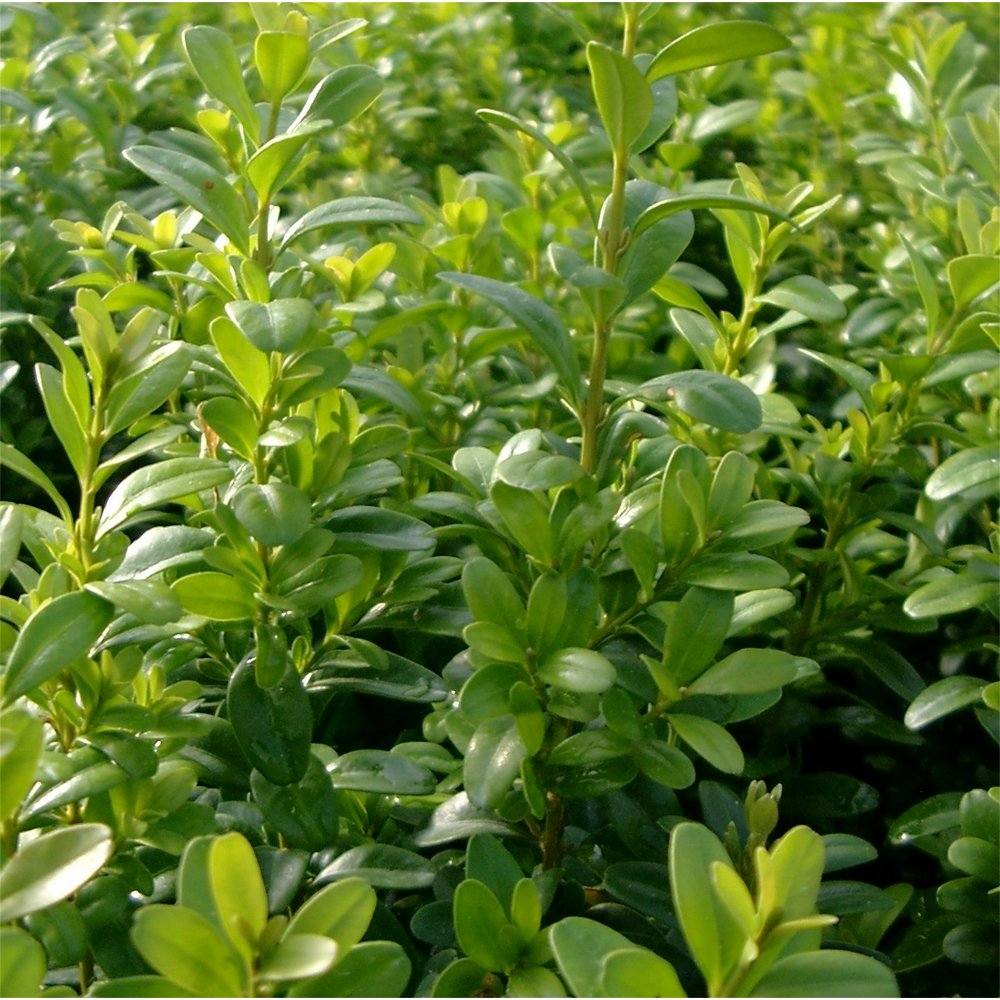 ammonia and common ornamental plant Trees, shrubs, flowers and other kinds of plants are considered ornamental when planted for their foliage, flowers or other interesting characteristics most any plant can be used as an.