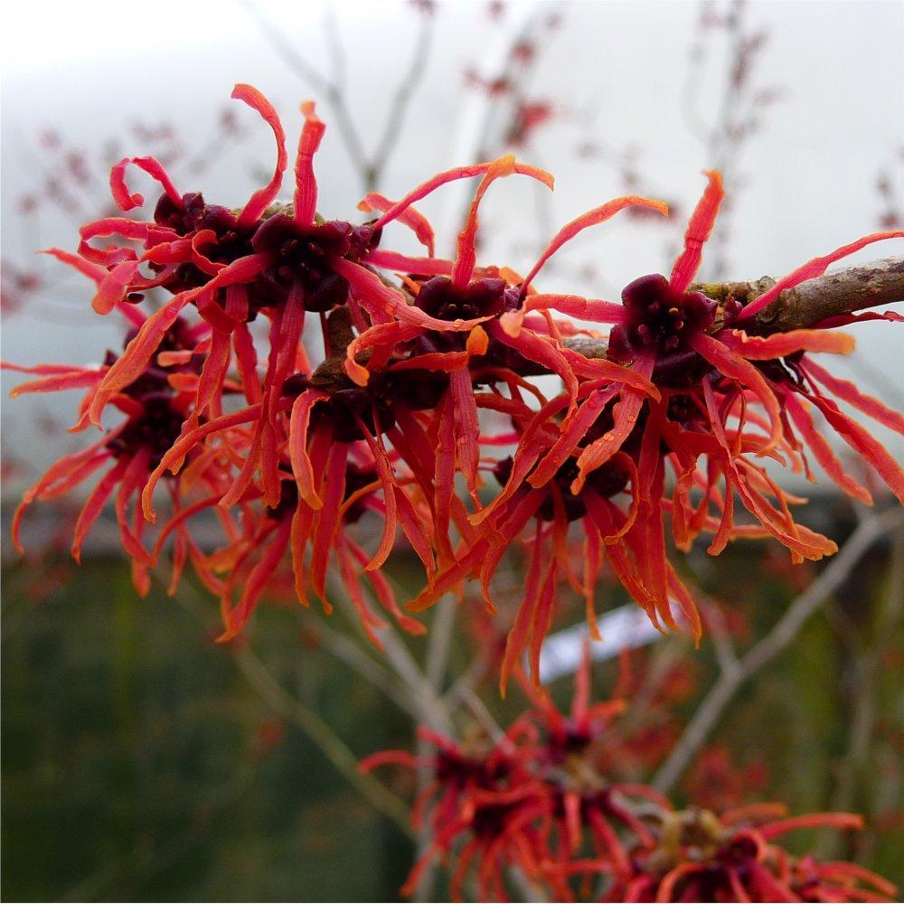 Hamamelis intermedia feuerzauber buy magic fire red witch hazel shrub