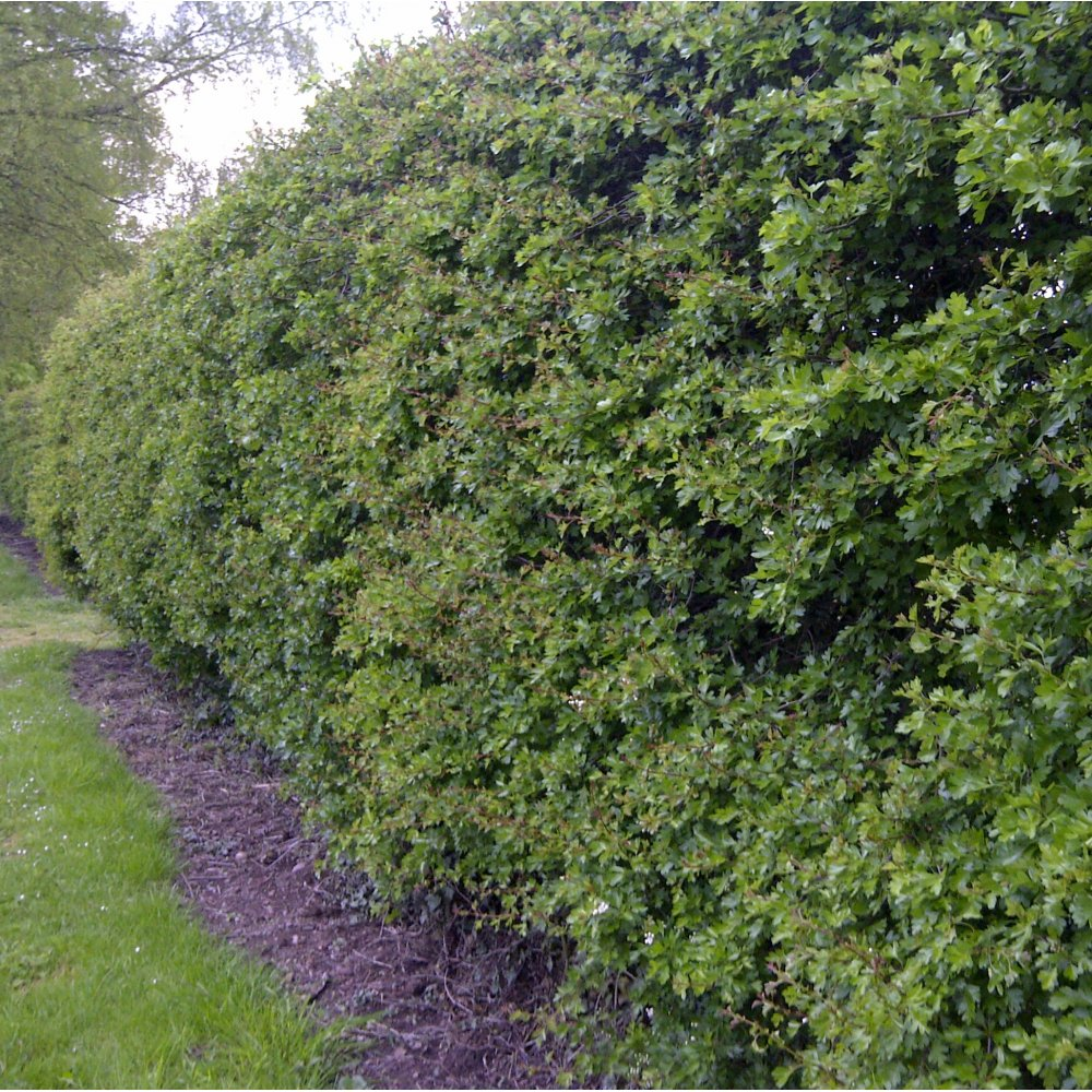 Crataegus Monogyna Buy Hawthorn Hedging Plants