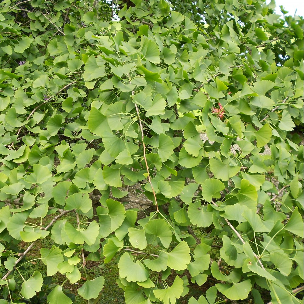 Ginkgo biloba buy maidenhair tree ginkgo tree for sale for Purchase trees