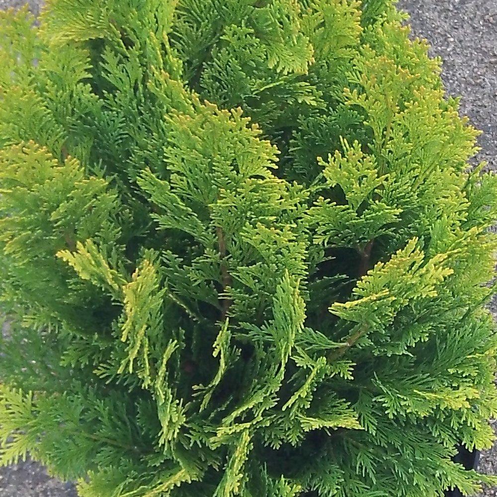Small Ornamental Evergreen Trees: Chamaecyparis Lawsoniana Moonsprite Conifer