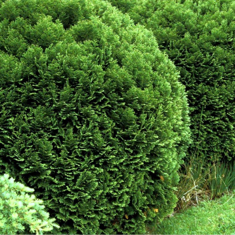 Small Ornamental Evergreen Trees: Chamaecyparis Lawsoniana Minima Glauca Conifer