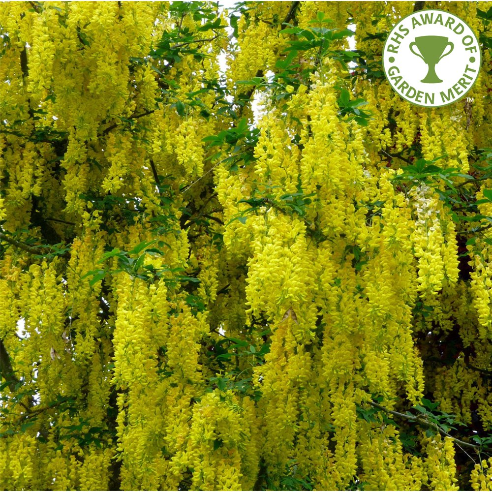 Laburnum x watereri vossii buy golden chain or rain trees for Purchase trees