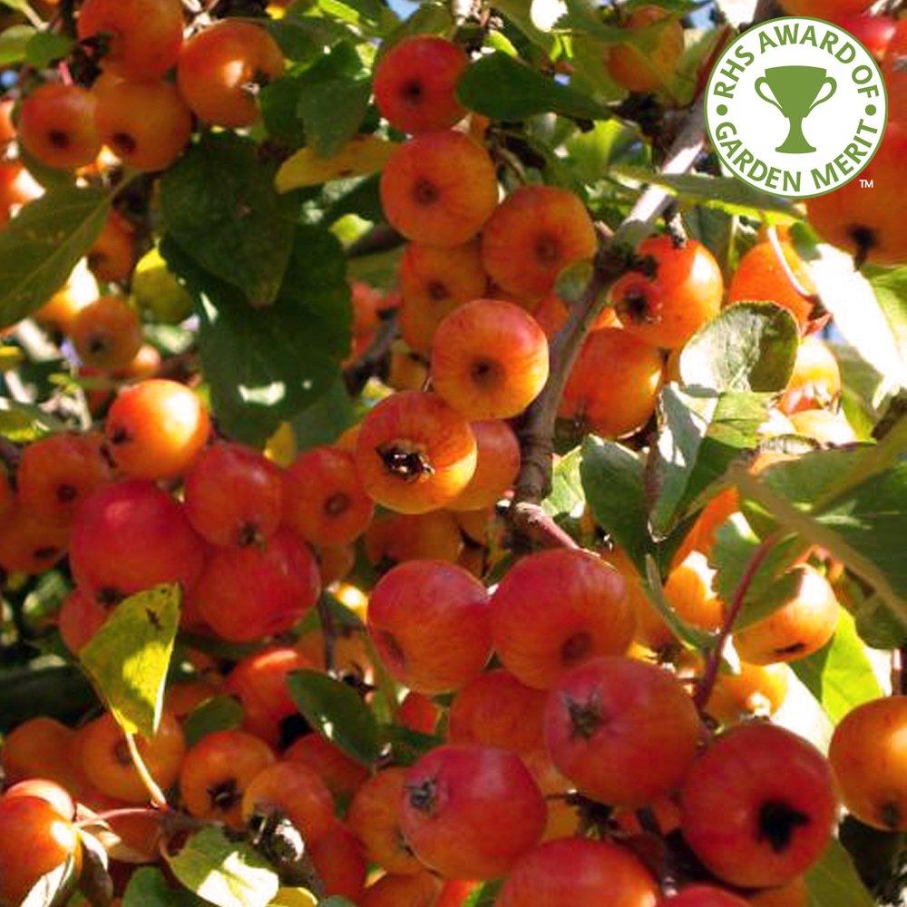 Malus Evereste | Buy Flowering Crab Apple Trees | Crabapple