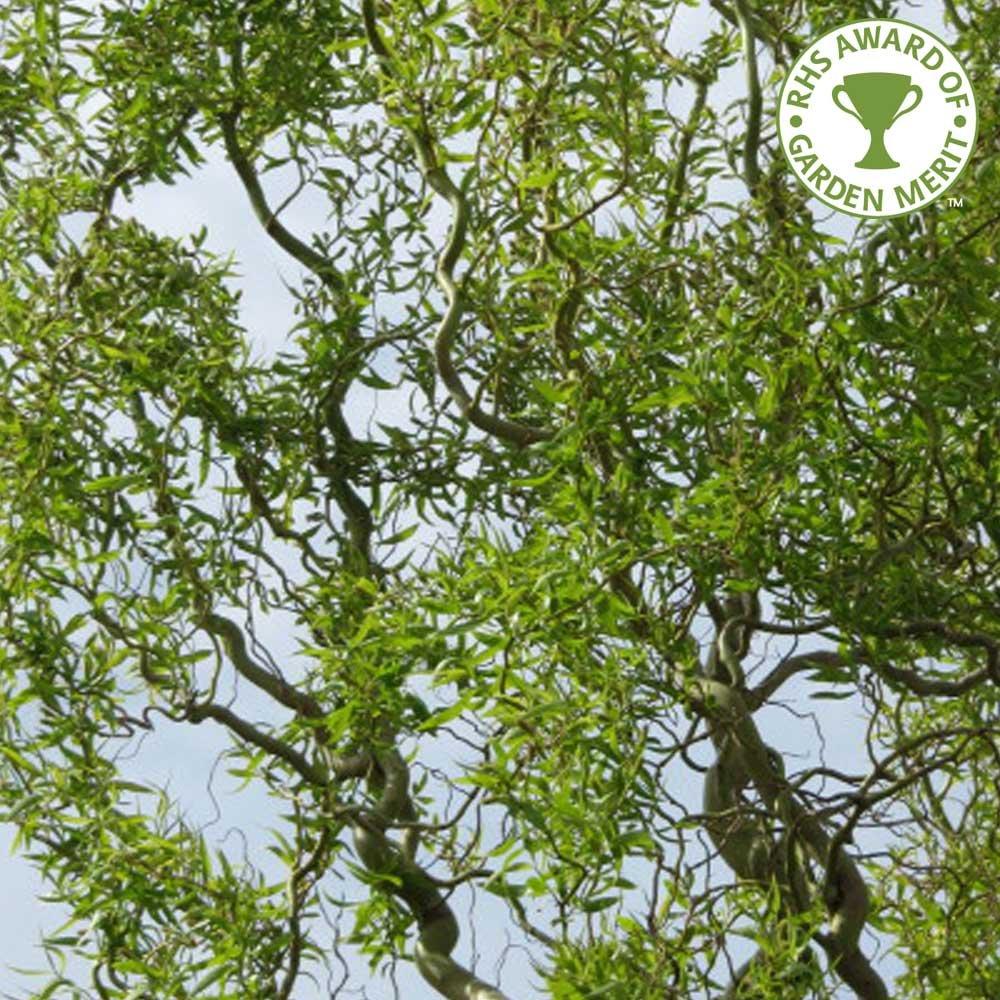 Home › ornamental trees › willow trees | salix tree › salix
