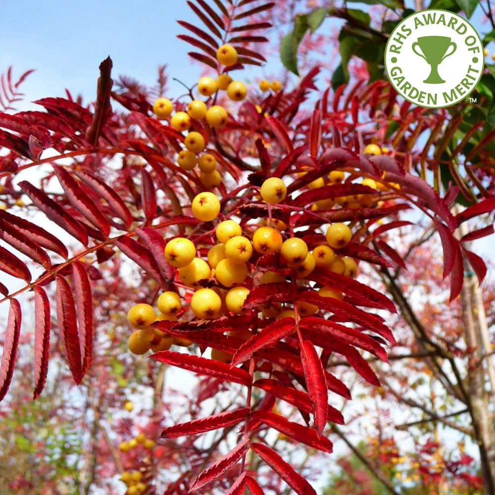 Sorbus joseph rock buy yellow berried mountain ash trees for Purchase trees