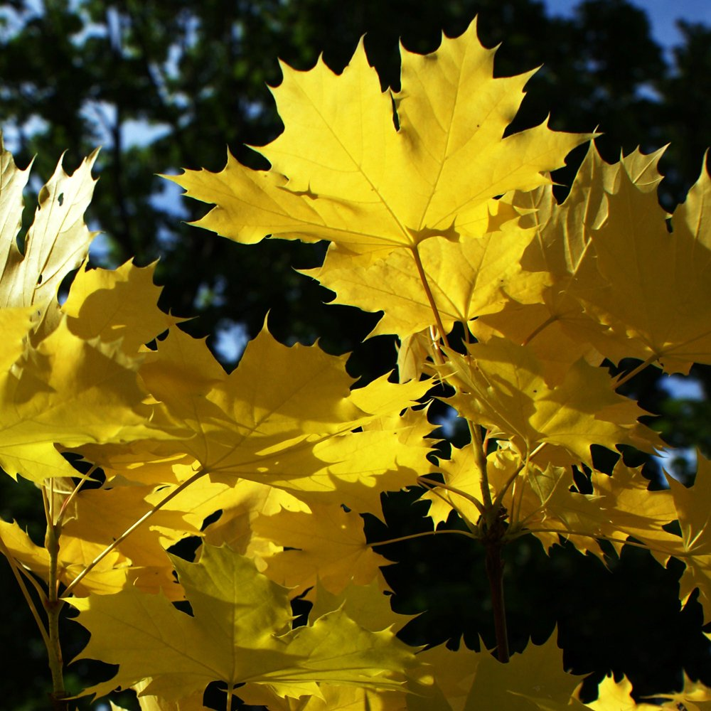 Yellow Acer Trees Yellow Norway Maple Trees