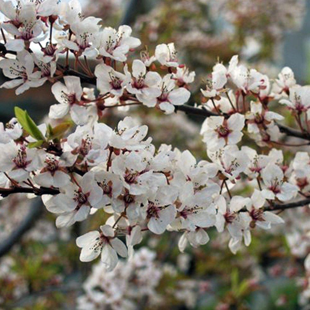 prunus cerasifera hessei buy dwarf flowering cherry plum