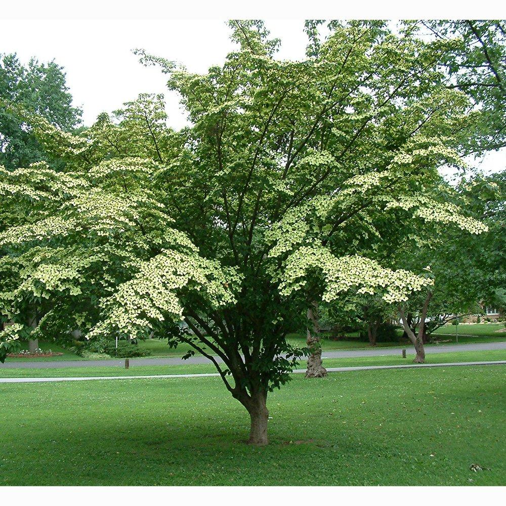 Dogwood Tree Kousa: Yellow Flowering Chinese Dogwood