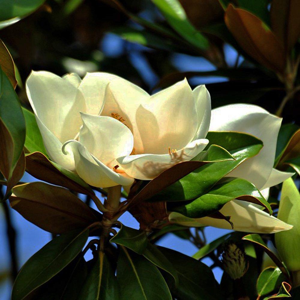 Magnolia grandiflora buy bullbay magnolia tree - Magnolia grandiflora ...