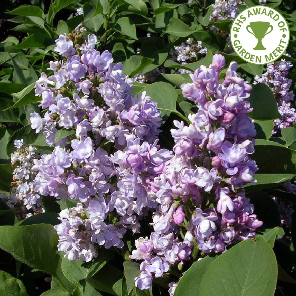 Syringa vulgaris Katherine Havemayer | Buy Purple Lilac Trees
