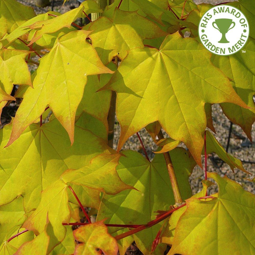 Yellow Acer Trees Acer Cappadocicum Aureum Tree