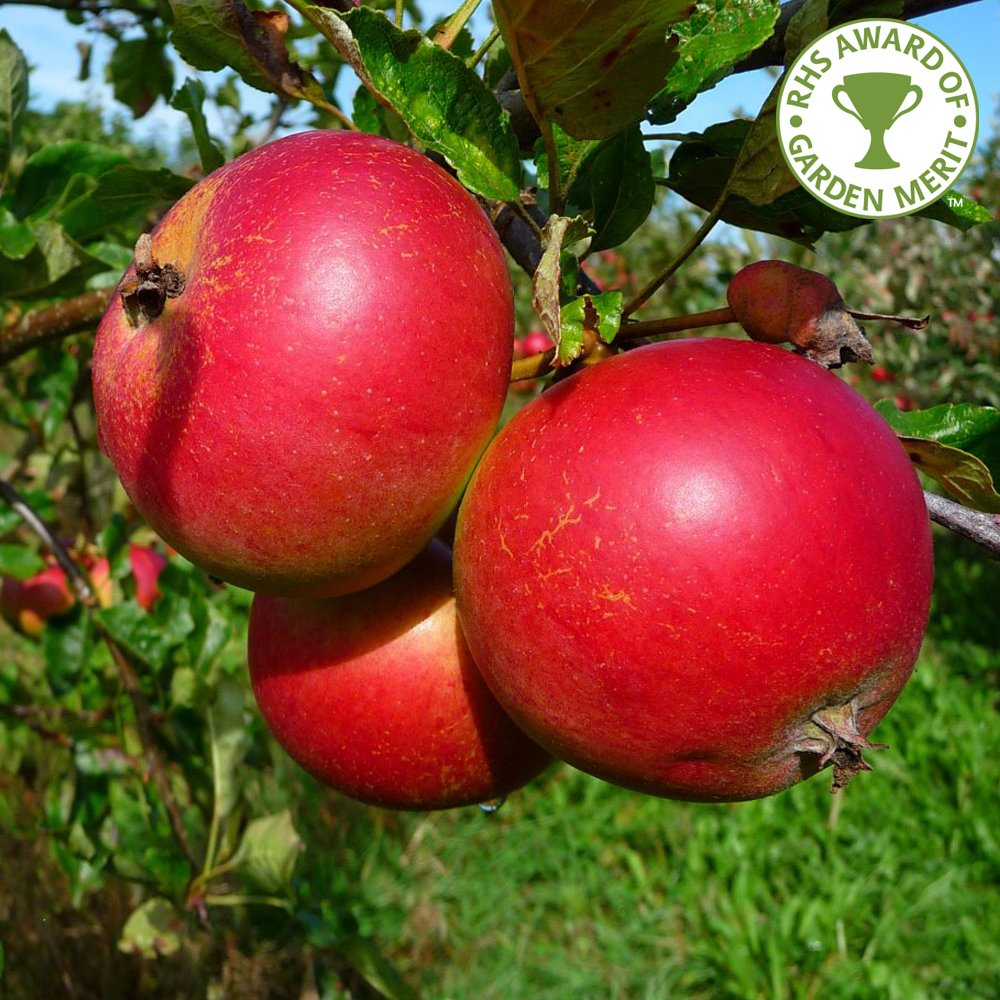 Fiesta apple tree aka red pippin purchase apple trees online for Fruit trees