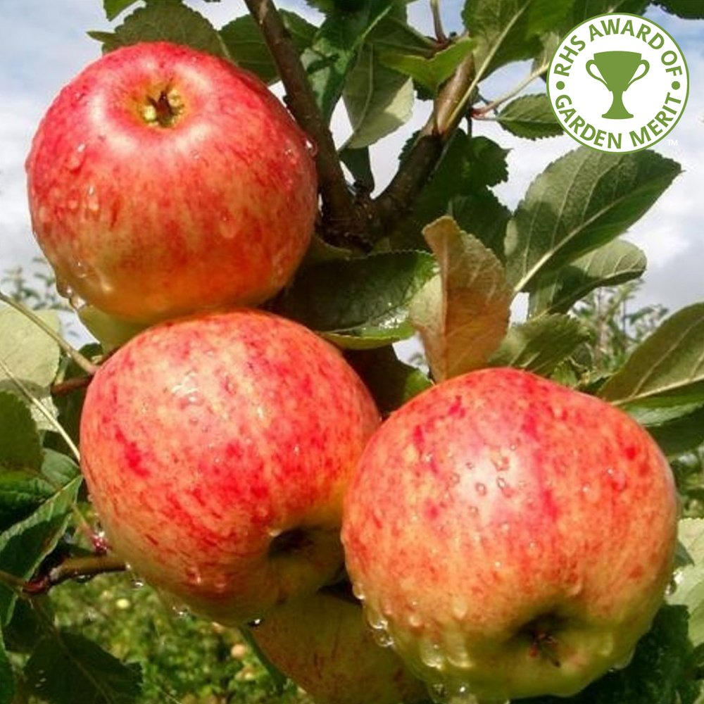 Family Apple Trees Enjoy 3 Apple Varieties On 1 Tree