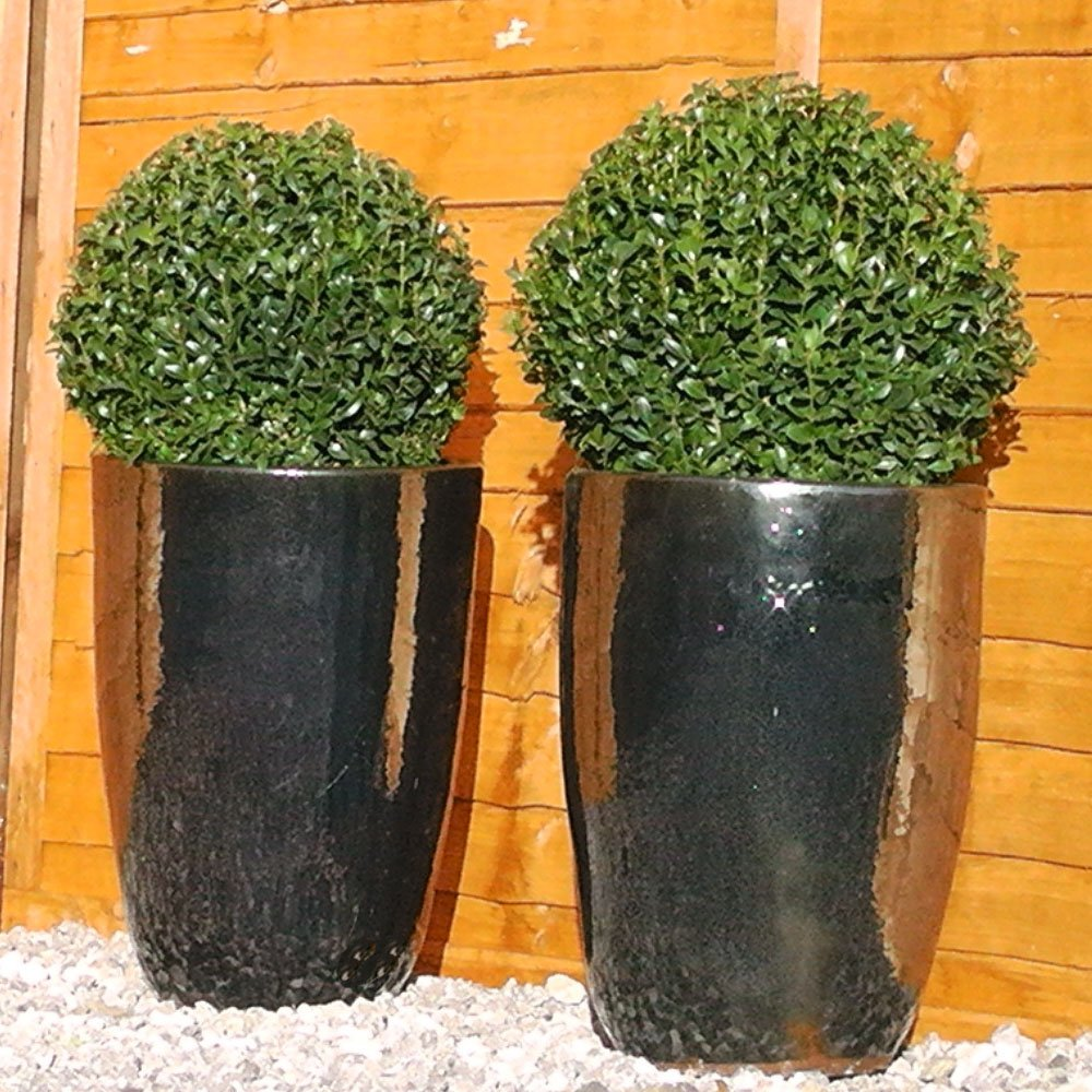 Buxus Sempervirens Topiary Ball