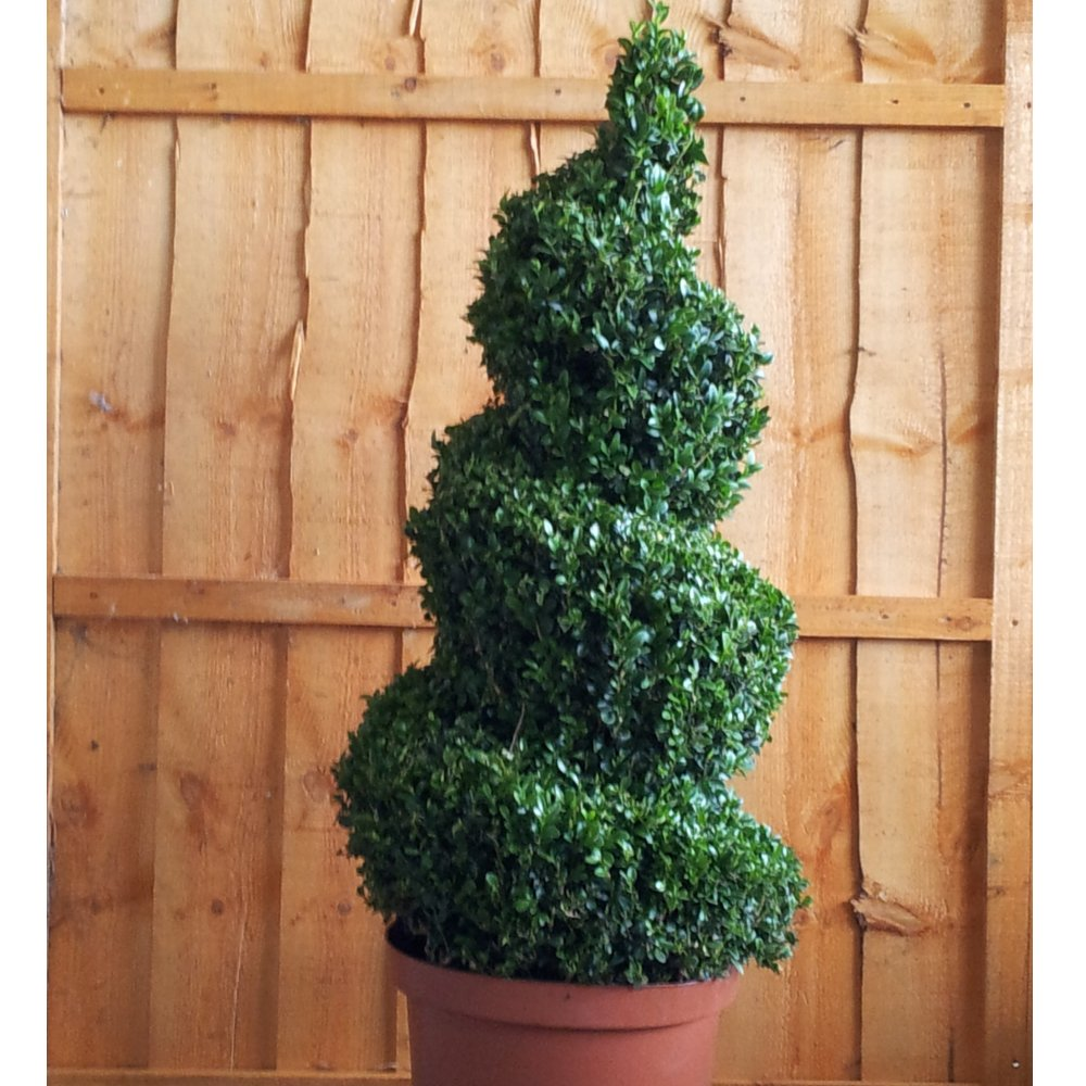 Topiary Spiral Trees: Buxus Sempervirens Topiary Spiral