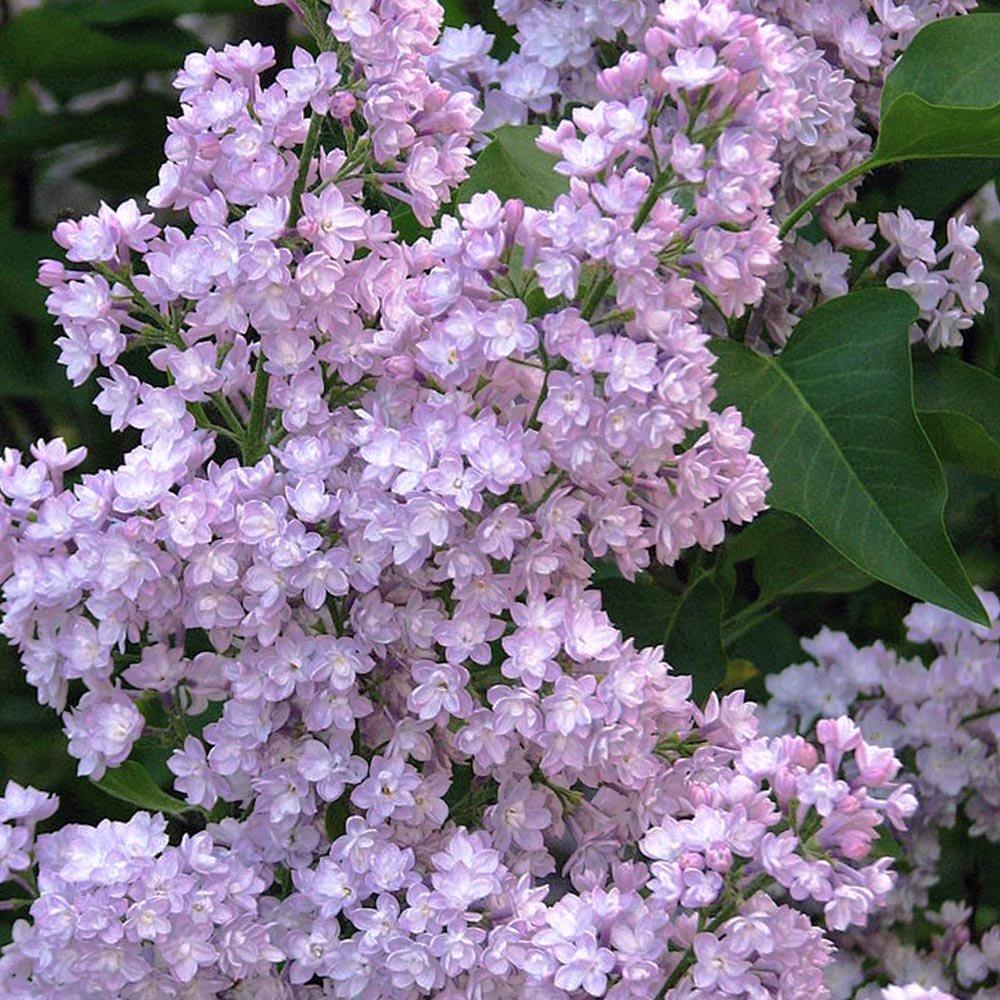 Syringa vulgaris viviand morel buy mauve lilac trees - Syringa vulgaris ...