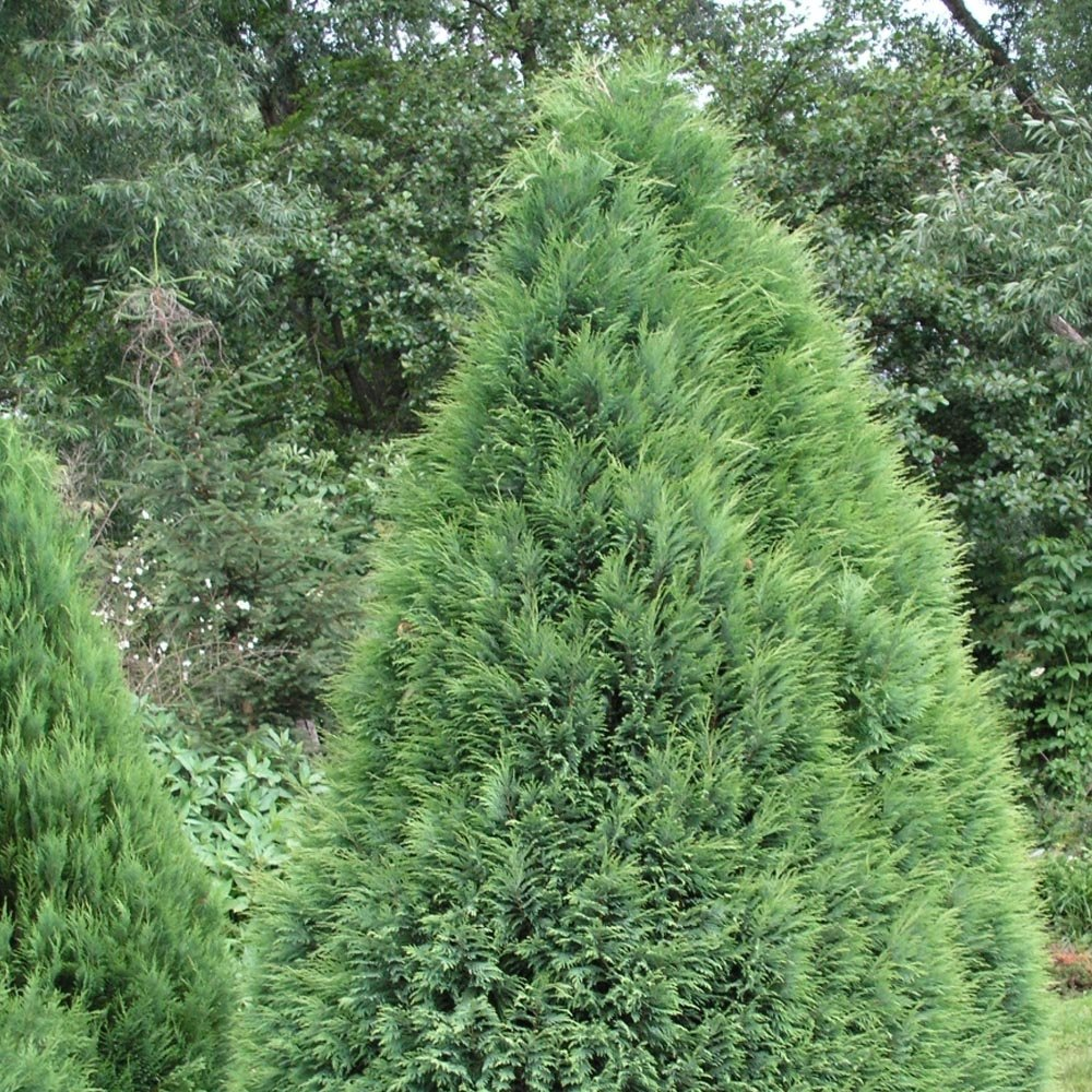 Chamaecyparis lawsoniana pottenii lawsons cypress for Small decorative evergreen trees