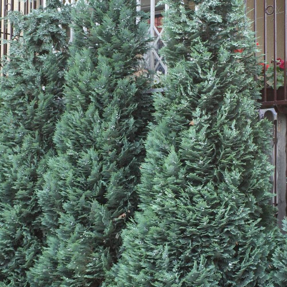 Chamaecyparis lawsoniana alumii buy lawsons cypress for Small evergreen flowering trees
