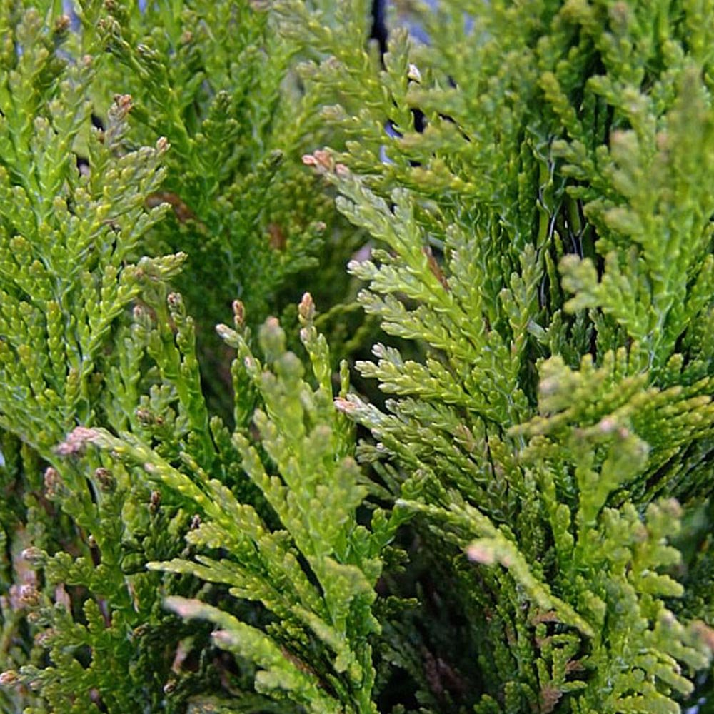 conifer online dating Essential links online threatened conifers of the world-- the iucn has listed 34% of the world's conifer by species data include age, dating.